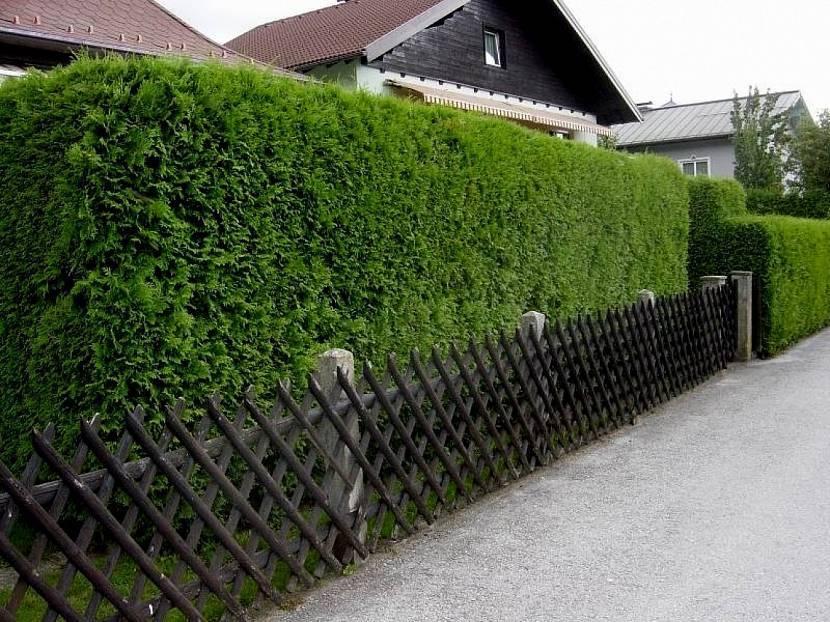 Туя для изгороди: лучшие сорта для живой изгороди, забор из туи смарагд