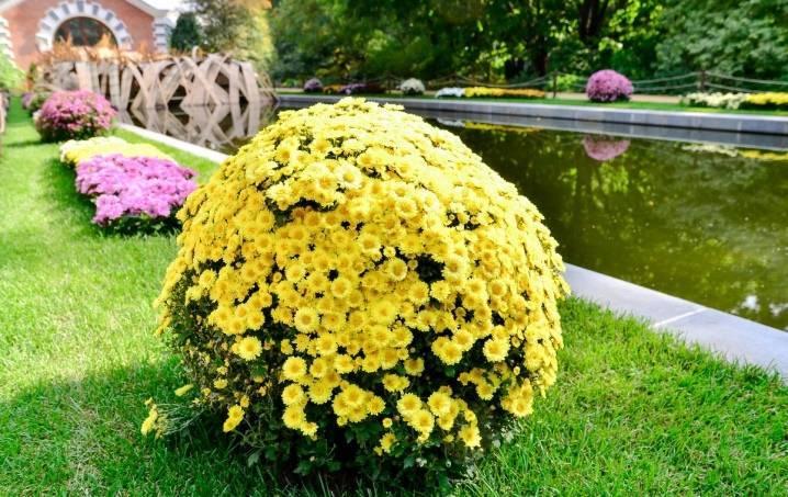 Хризантема кустовая — виды, посадка и уход