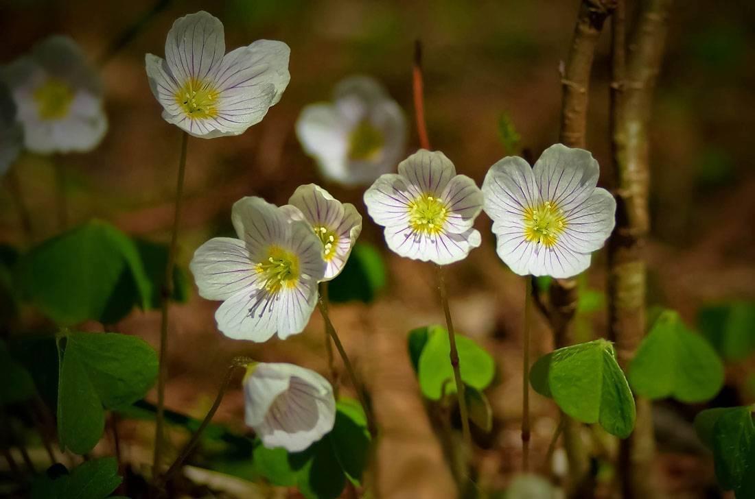 Кислица комнатная – цветущая красавица