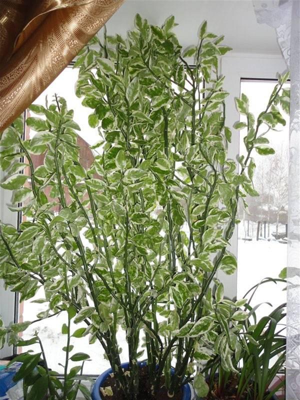 Педилантус: особенности ухода и выращивания в домашних условиях
