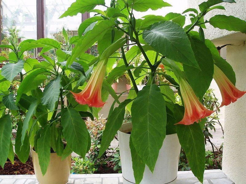 Бругмансия: выращивание в саду, виды и сорта