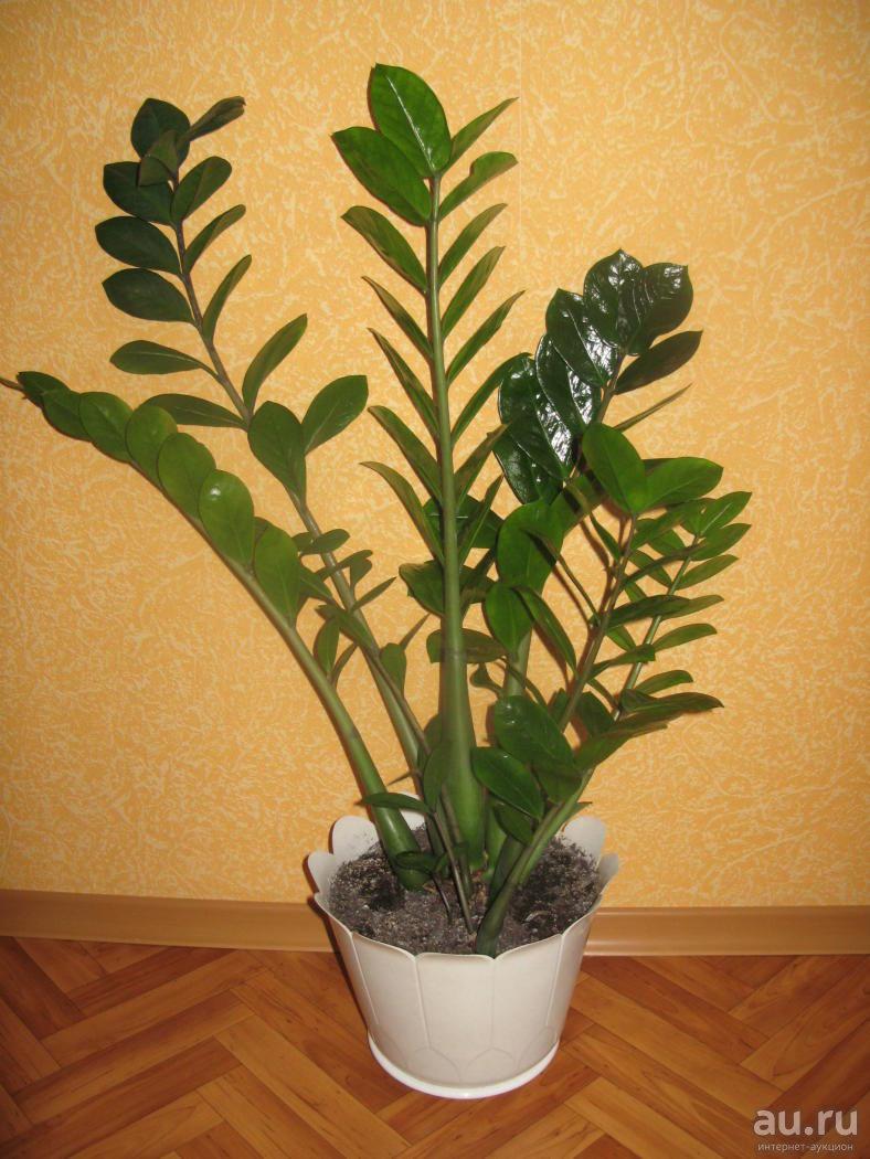 Особенности цветения замиокулькаса