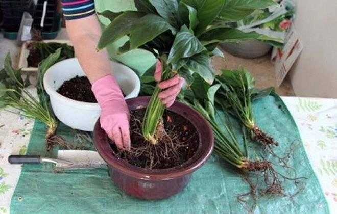 Инструкции по пересадке спатифиллумов дома: в период цветения, после покупки