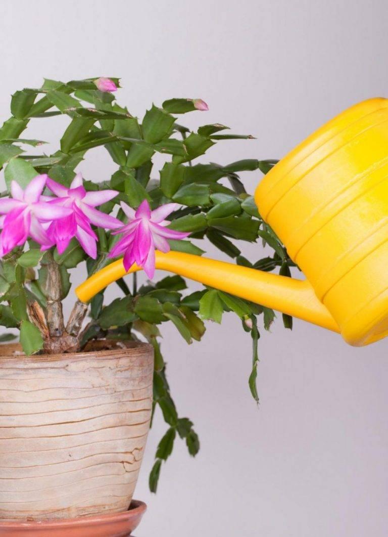 Уход за традесканцией в домашних условиях: полив, болезни, пересадка, как цветет