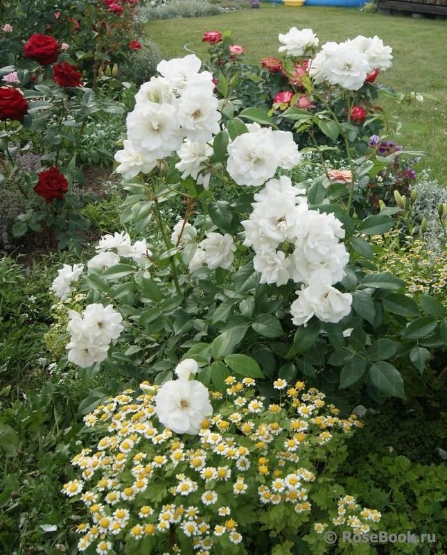 Выращивание чайно-гибридного сорта роз фокус покус из семян: посадка и уход