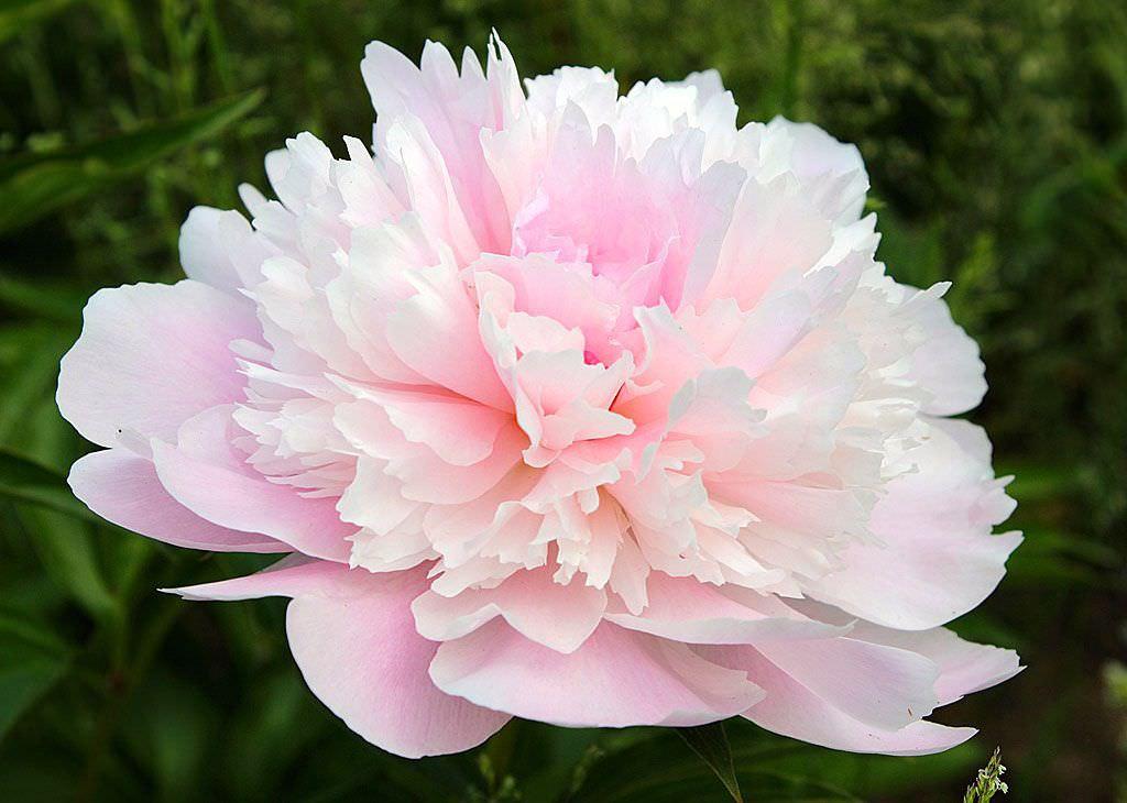 Розовые пионы (57 фото): описание нежно-розовых розовидных пионов, «розового облака» и pink giant, pink hawaiian coral и других сортов