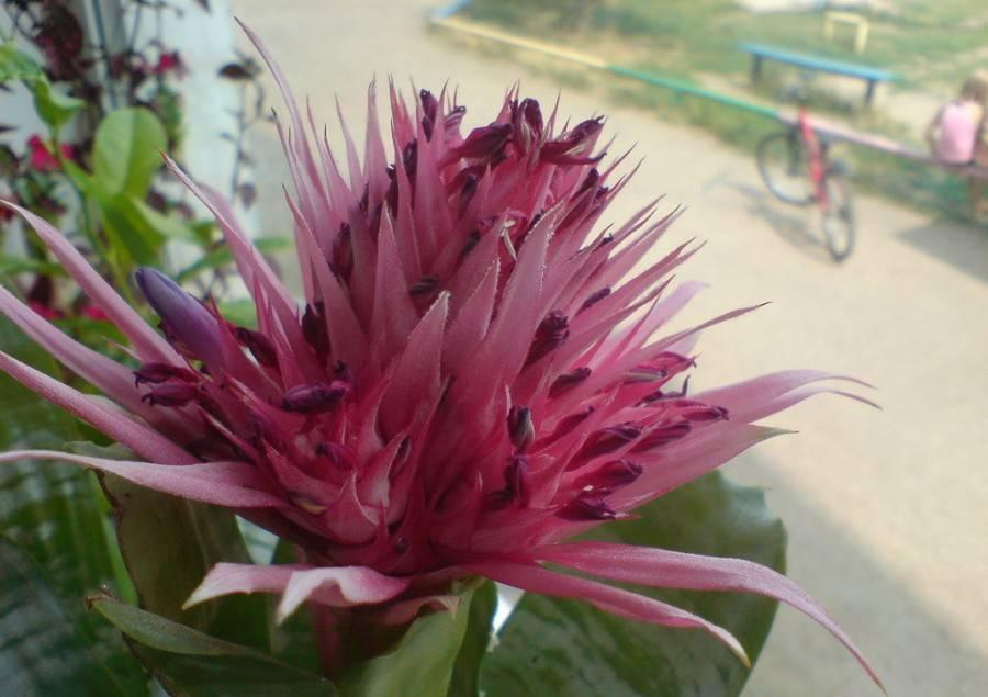 Эхмея: уход в домашних условиях и размножение