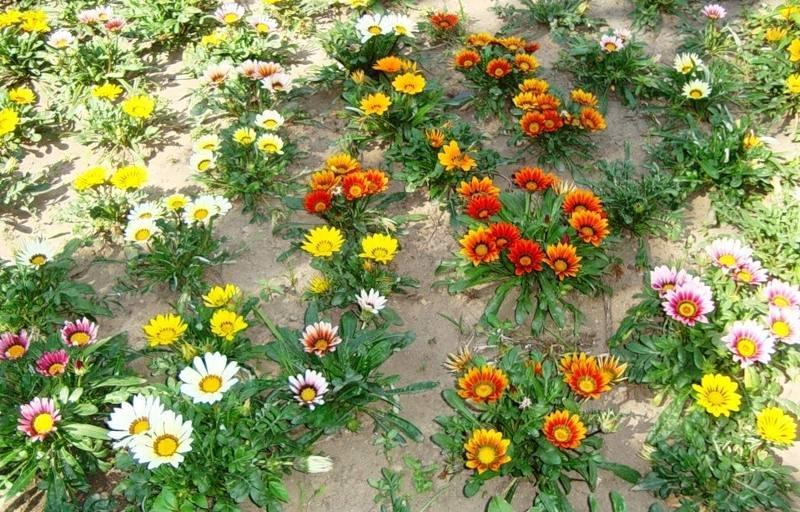Гацания: как вырастить из семян когда сажать на рассаду