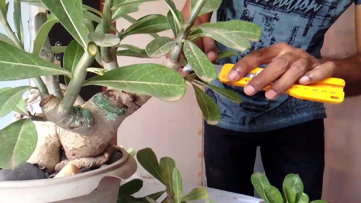 Адениум уход в домашних условиях: правила обрезки и пересадки растения