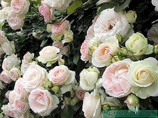 Роза скарлет: описание и особенности выращивания
