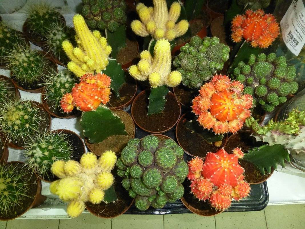 Выращивание кактуса эхинопсиса: как посадить, ухаживать, размножать, цветение