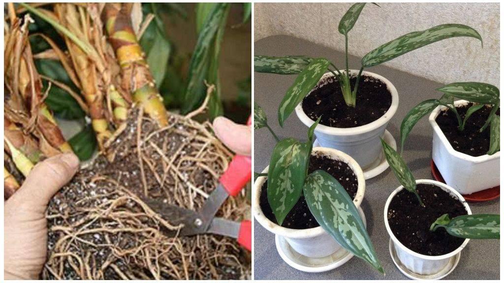 Аглаонема aglaonema  - виды, уход, проблемы выращивания, вредители