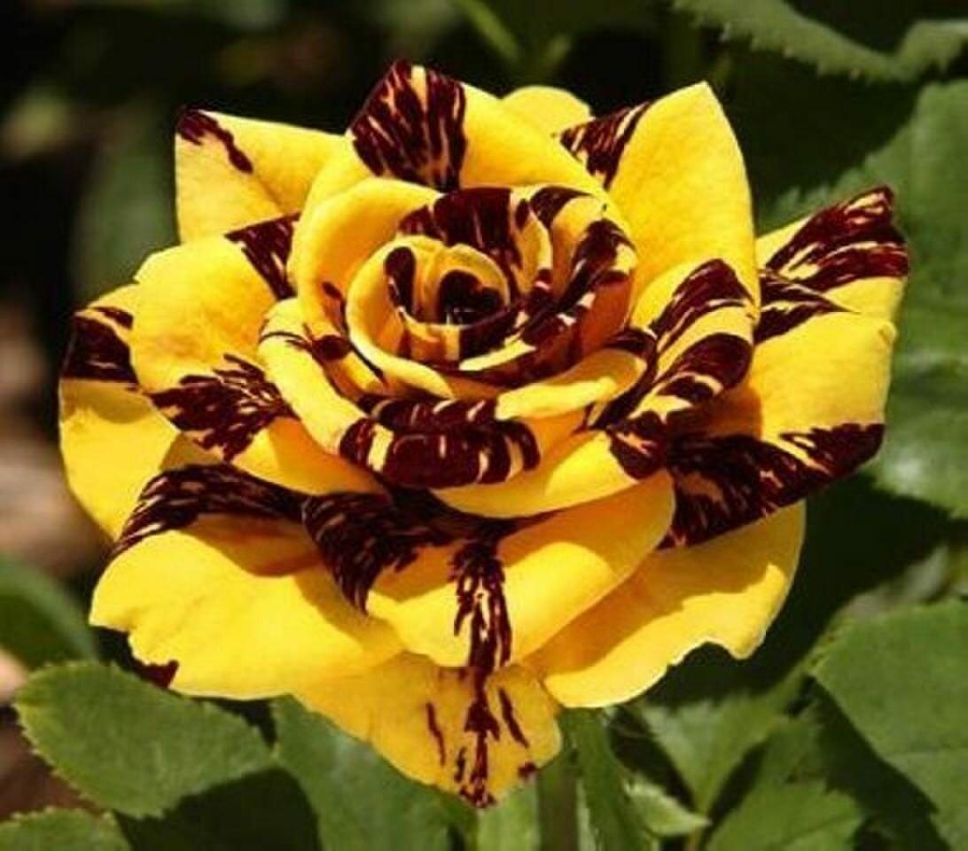 Описание розы пиано: сортовое разнообразие цветка, рэд, хэппи, брайдал и чарминг