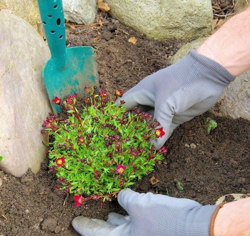 Камнеломка — «цветущая на камнях»: посадка и уход