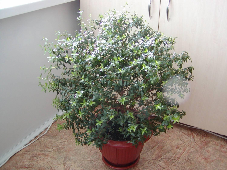 Миртовое дерево — чем полезен мирт в квартире
