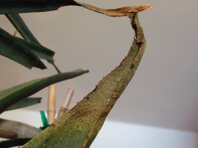 Уход за остистым алоэ в домашних условиях: как растить aloe aristata. особенности цветения