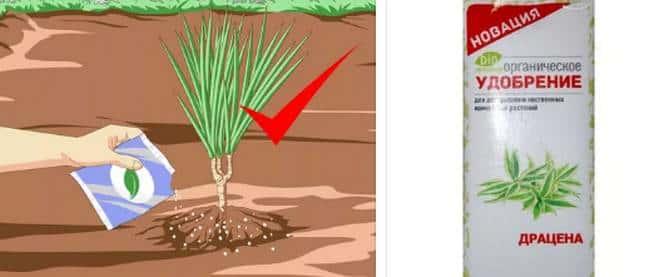 Чем подкармливать драцену правильно в домашних условиях: виды удобрений и внесение