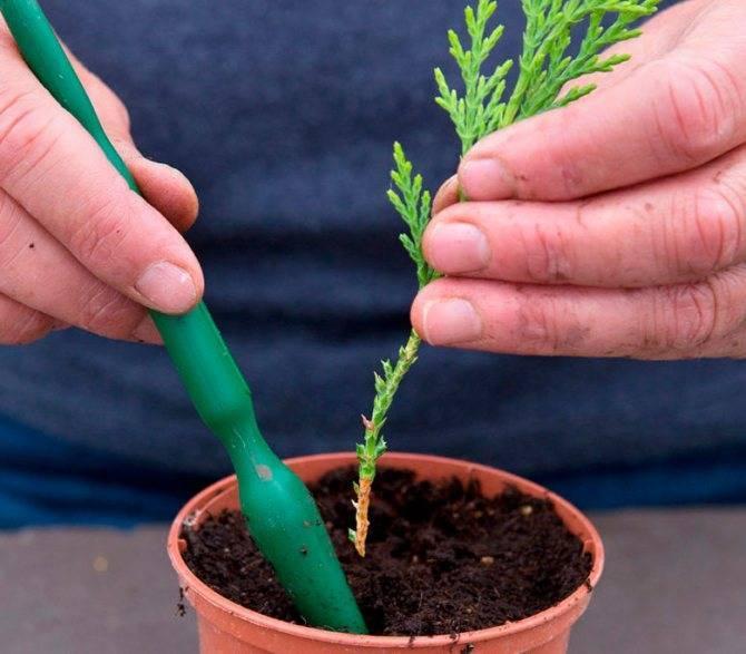 Размножение туи черенками: полезные советы для садоводов