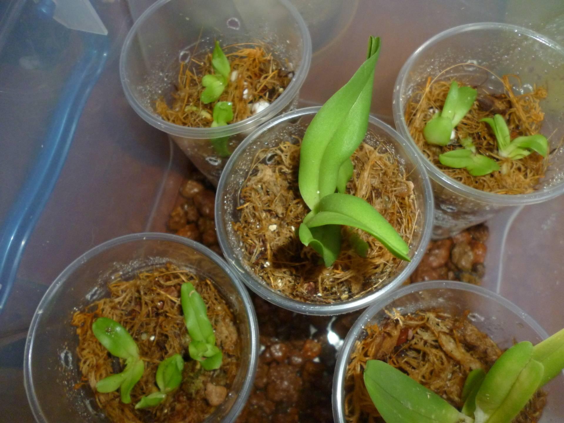 Орхидея из семян: выращивание в домашних условиях