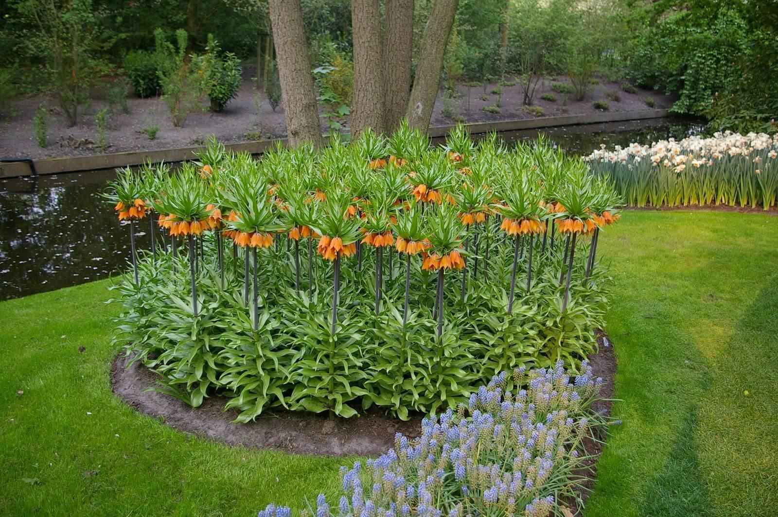 Цветок рябчик: посадка и уход после цветения