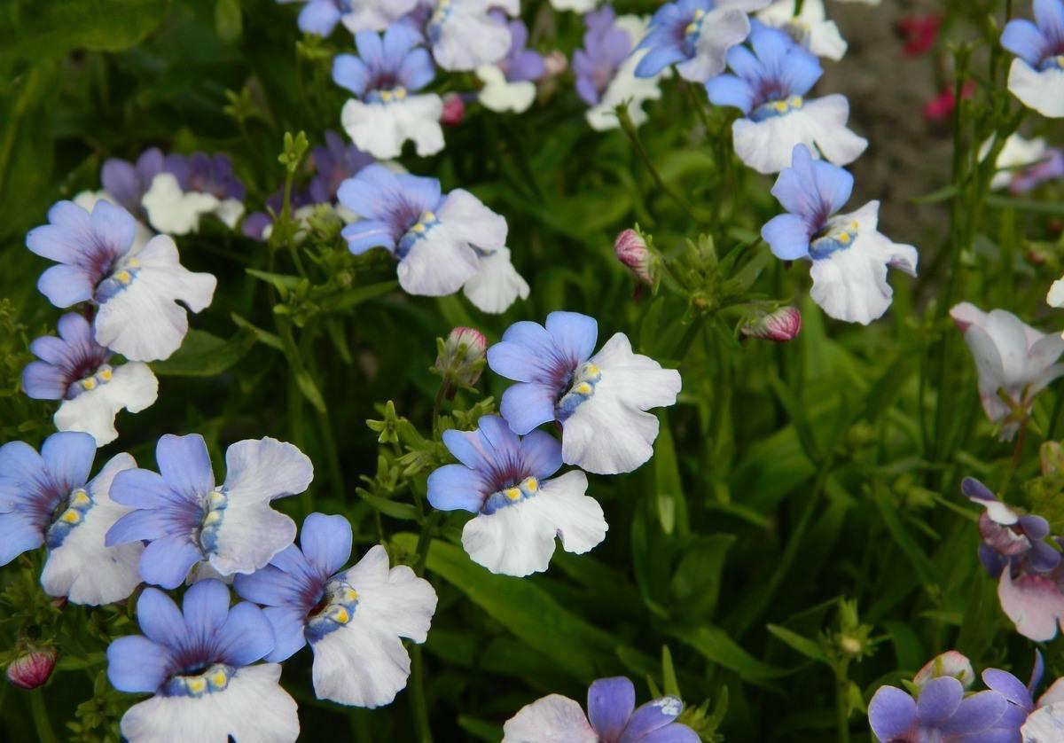 Очаровательная немезия. как вырастить в вашем саду