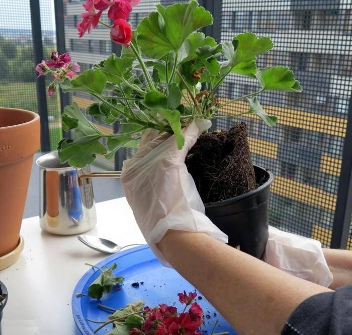 Размер горшка для глоксинии: какой нужен размер, чтобы сажать в домашних условиях, как подготовить цветок, а также последствия неправильного выбора