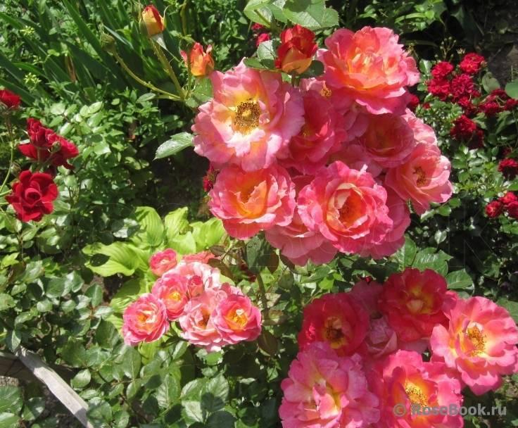 Роза «амадеус» (22 фото): описание, характеристика и размеры плетистого сорта роз, отзывы