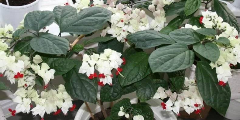 Цветок клеродендрум госпожи томпсон: почему не цветет и как заставить цвести