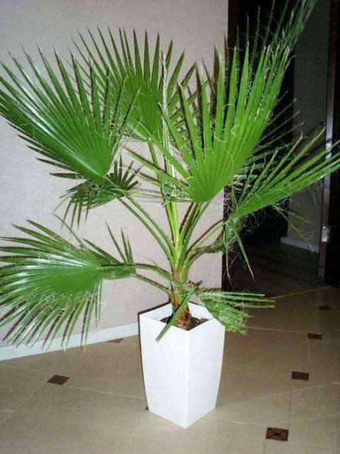 Семена пальмы: как вырастить экзотическое растение из семян в домашних условиях
