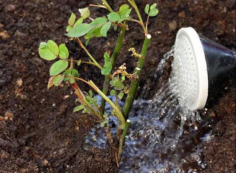 Как подружиться с виргинским чубушником: секреты успеха