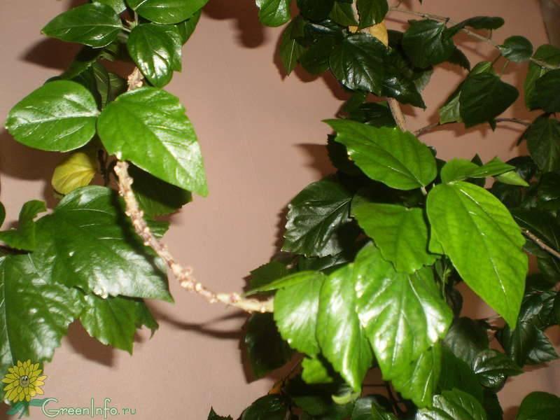 Желтеют листья у гибискуса комнатного: почему это происходит, по какой причине появляются пятна и куст начинает сбрасывать крону, фото проблемы и советы, что делать