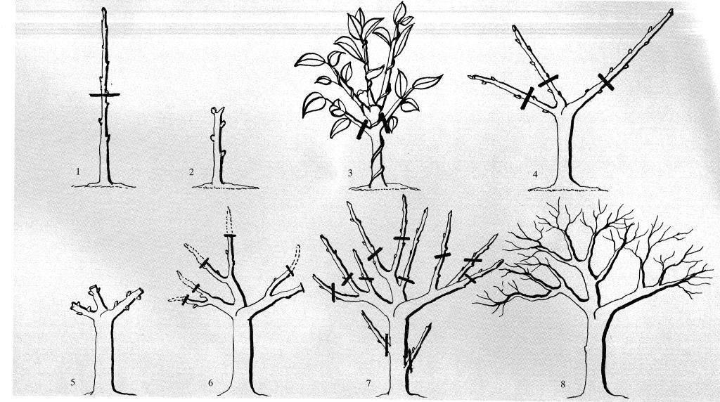 Обрезка, прищипка, опора, пасынкование комнатных растений