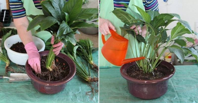 Цветок пахистахис: уход в домашних условиях, фото, размножение, приметы и суеверия