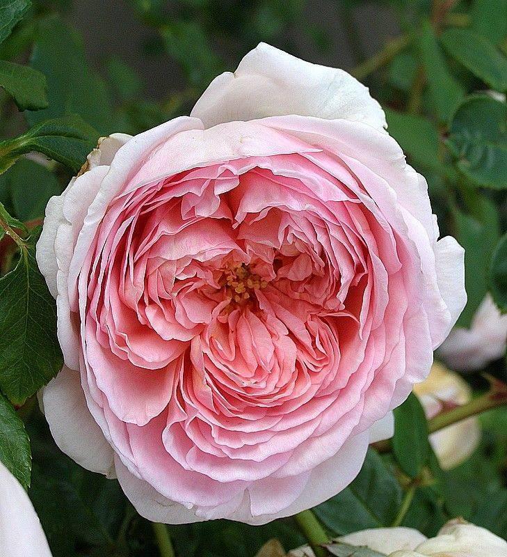 Описание чайно-гибридного сорта роз талея: чем отличается от других, как ухаживать