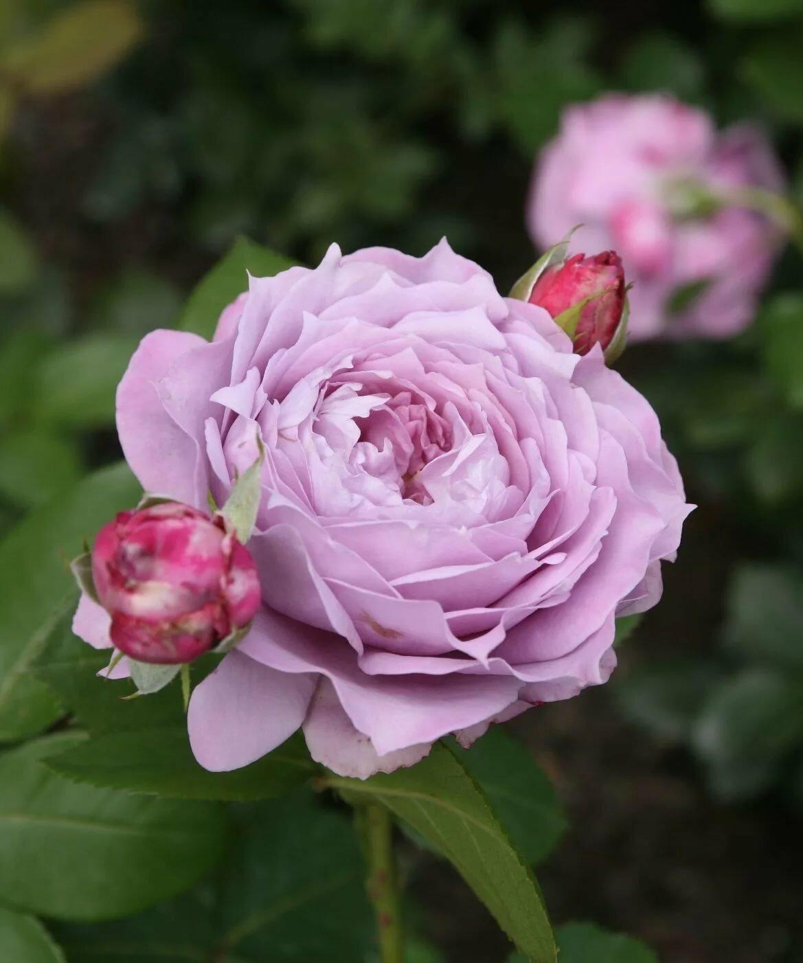 История роз кордеса и сорта