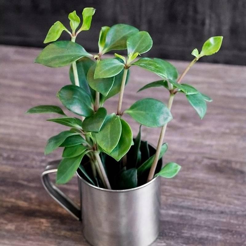 """Пеперомия """"туполистная"""": уход за растением в домашних условиях и фото"""