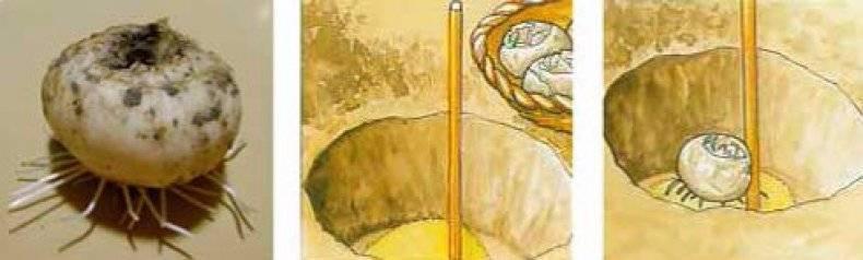 Шахматный рябчик - посадка, выращивание и уход