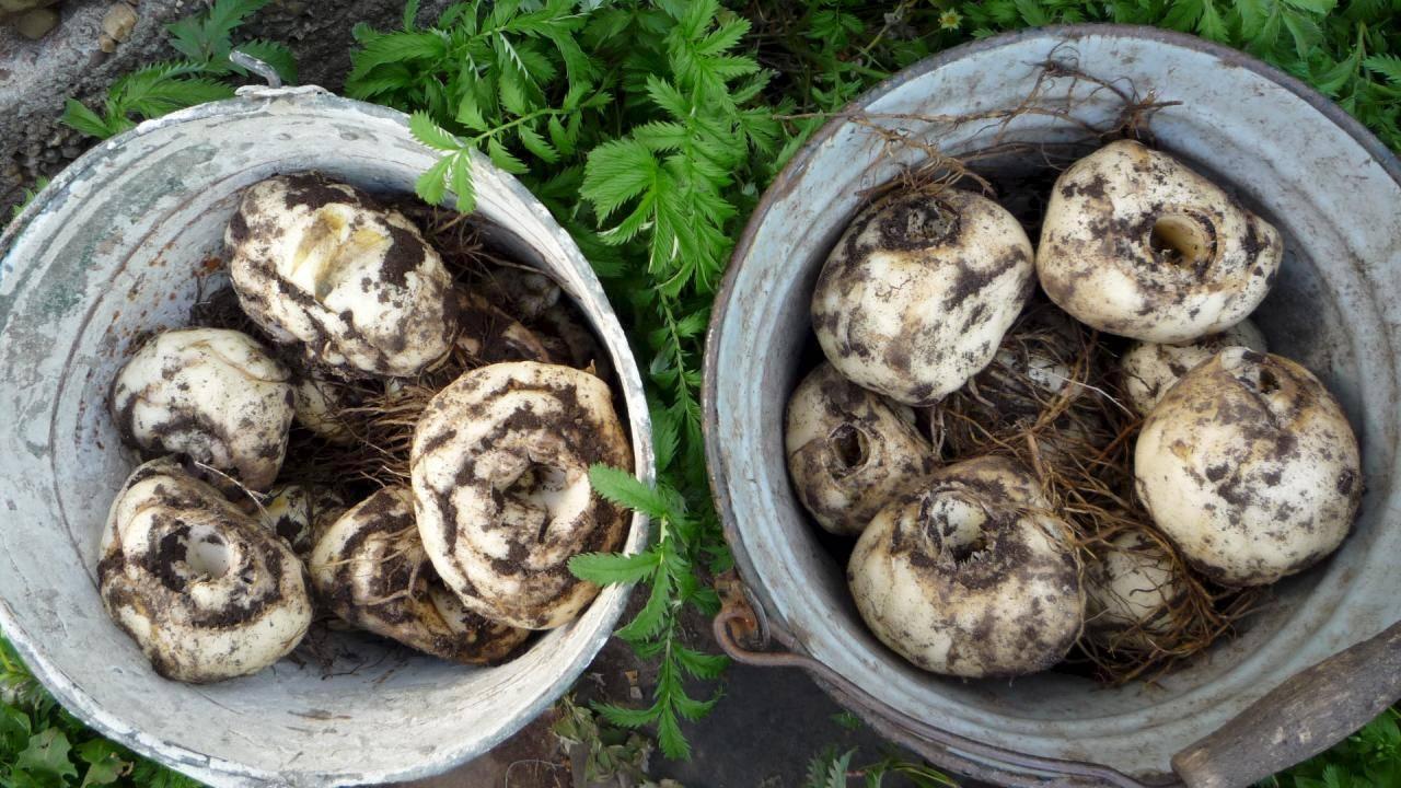 Луковицы тюльпанов — как хранить