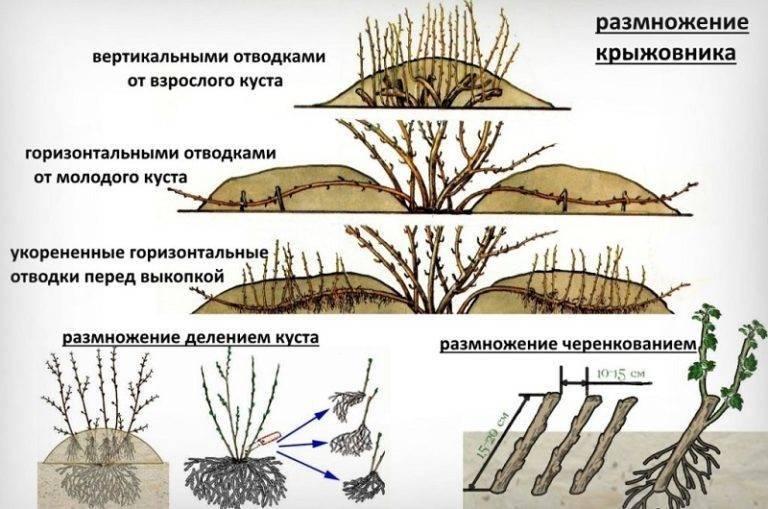 Как размножить крыжовник весной, летом и осенью