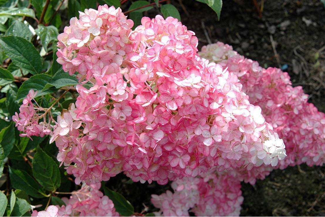 Гортензия строберри блоссом (hydrangea paniculata strawberry blossom) — описание - pocvetam.ru