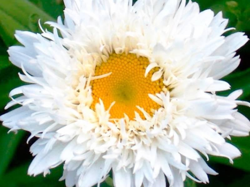 Нивяник крейзи дейзи посадка и уход. размножение, посадка и уход за нивяником при выращивании из семян