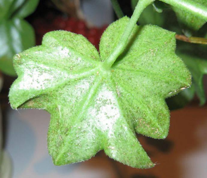 Болезни листьев герани: почему мелкие или чернеют, мало на стебле или совсем нет, что делать, если не растут, от чего они, и цветы тоже, опадают, фото недугов