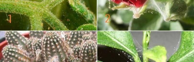 Паутинный клещ на комнатных растениях (36 фото): как бороться с ним в домашних условиях? средства для борьбы. как выглядят на цветах?