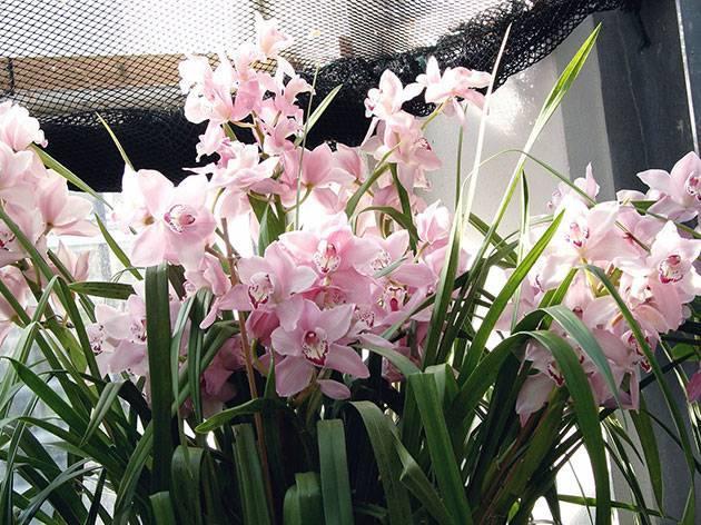 Цветы орхидеи цимбидиум в домашних условиях
