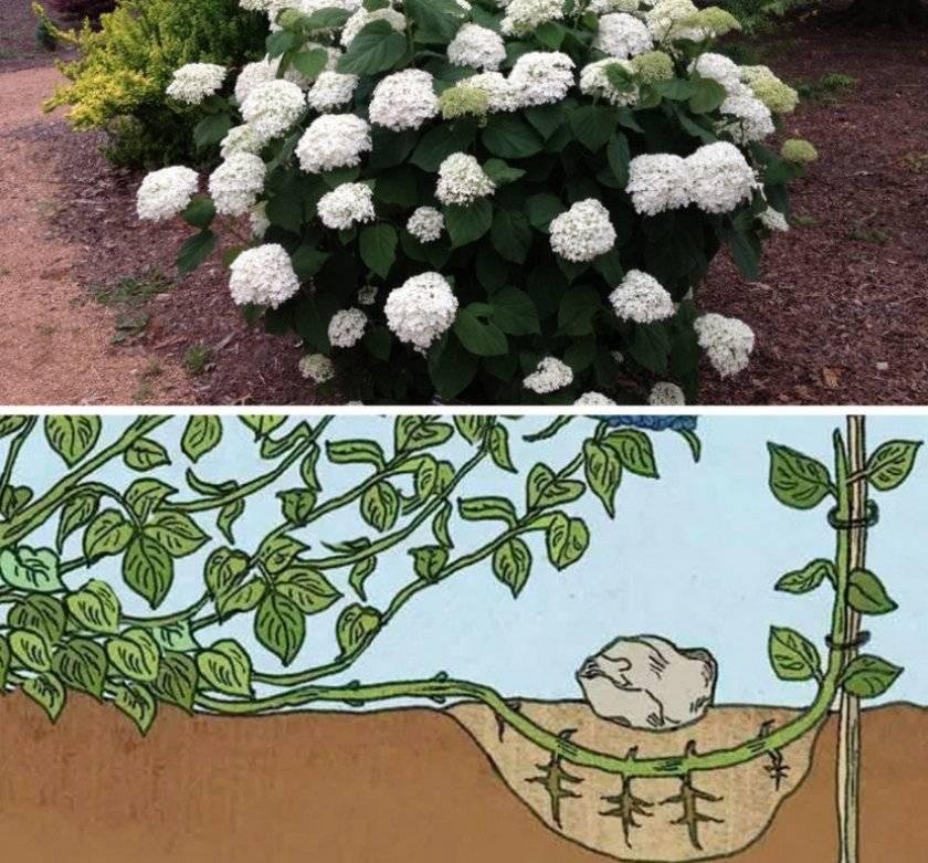 Размножение гортензий: черенкование метельчатой и древовидной гортензии