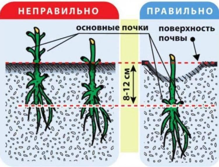 Размножение клематиса зелеными черенками