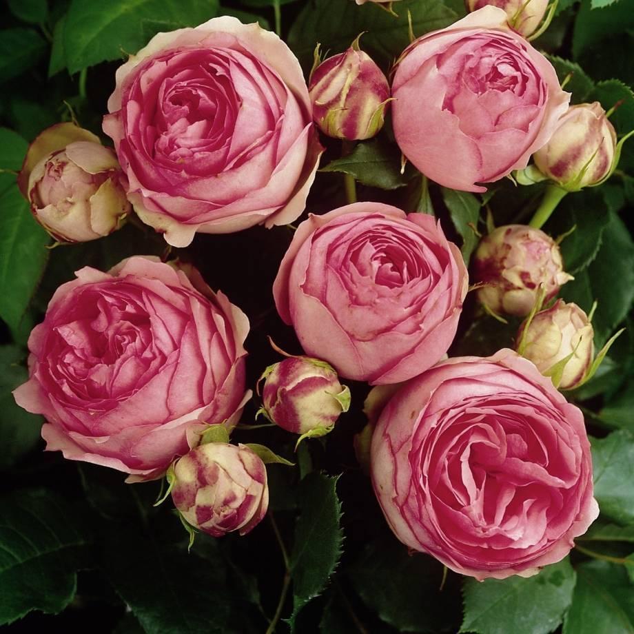 Все о кустовых розах: описание и фото популярных сортов, цветение, рекомендации по уходу и другие нюансы
