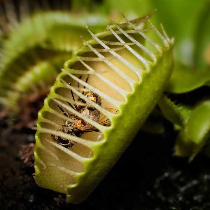 Венерина мухоловка: как ухаживать за цветком