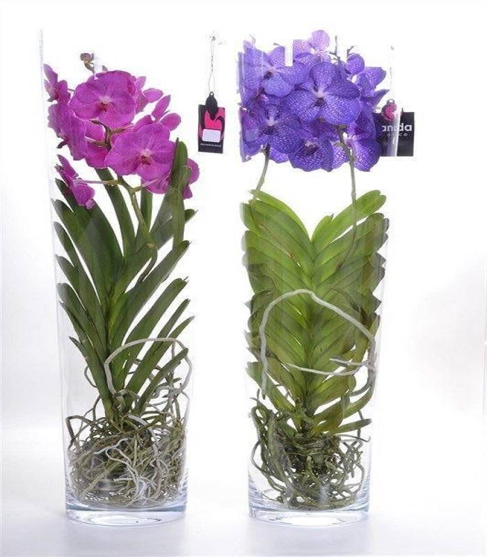 Орхидея ванда: уход, пересадка, размножение в домашних условиях. болезни и вредители.