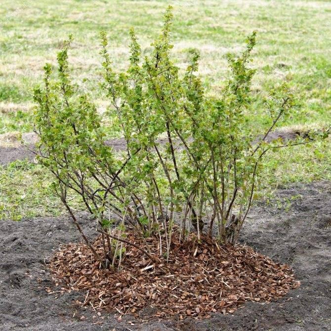 Крыжовник «уральский изумруд»: описание, особенности посадки и выращивания - плодовые кустарники - 2020